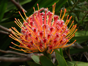 Telopea Protea