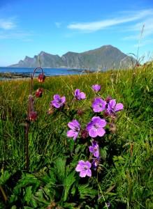 Arctic summer flowers