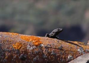Gomeran lizard
