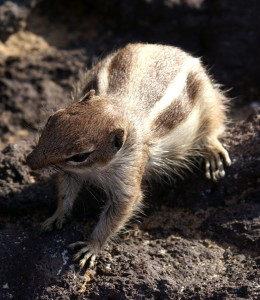Barbary Ground Squirrel #2